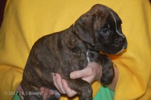 euro boxer puppy22