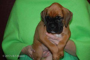 euro boxer puppy24