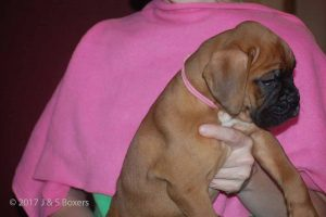 euro boxer puppy28