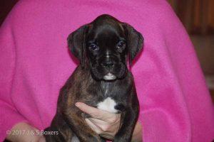 euro boxer puppy29