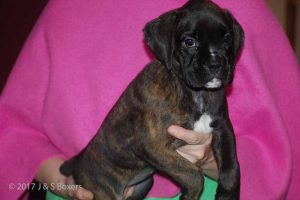 euro boxer puppy30