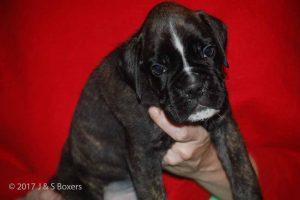 euro boxer puppy33