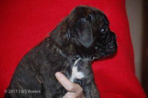 euro boxer puppy34