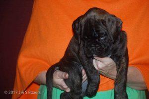 euro boxer puppy35