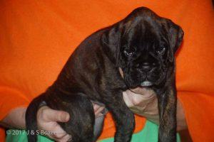 euro boxer puppy36