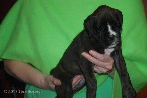 euro boxer puppy37