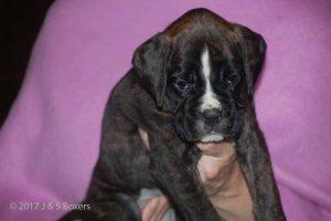 euro boxer puppy40