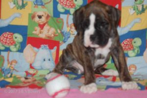 july boxer puppy01