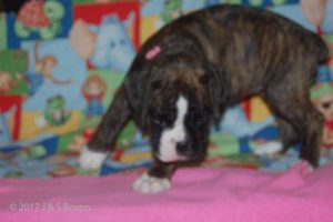 july boxer puppy02