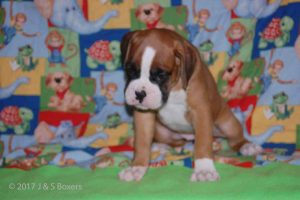 july boxer puppy03