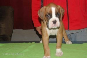july boxer puppy04