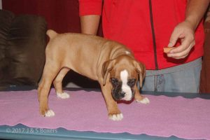 july boxer puppy06
