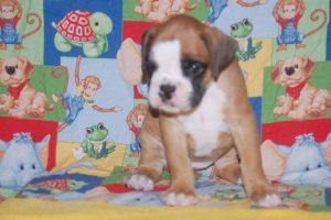 july boxer puppy07