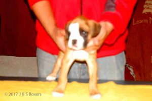 july boxer puppy08