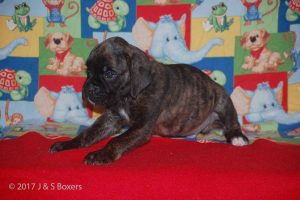 july boxer puppy09