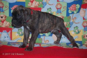 july boxer puppy10