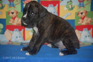 july boxer puppy11