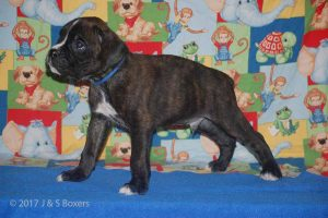 july boxer puppy12