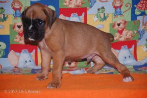 july boxer puppy13