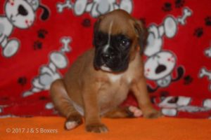 july boxer puppy14
