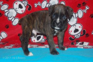 july boxer puppy15