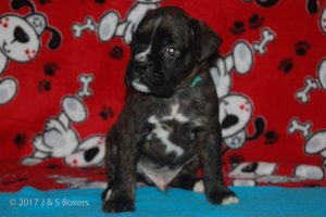july boxer puppy16