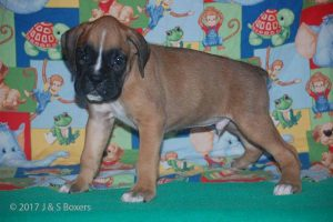 july boxer puppy17