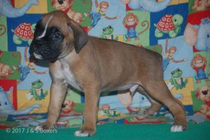 july boxer puppy18