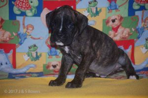 july boxer puppy19