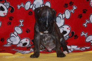 july boxer puppy20