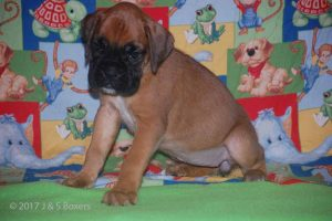 july boxer puppy21