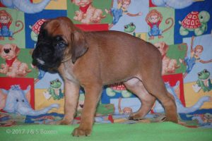 july boxer puppy22