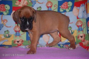 july boxer puppy23