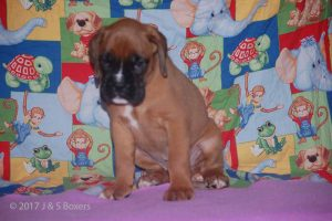 july boxer puppy24