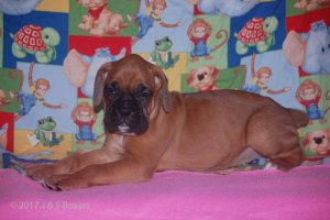july boxer puppy25