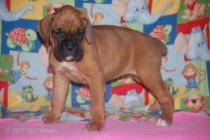 july boxer puppy26