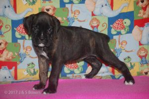 july boxer puppy27