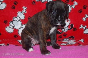 july boxer puppy28
