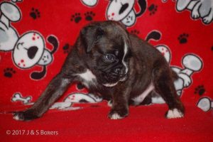 july boxer puppy30
