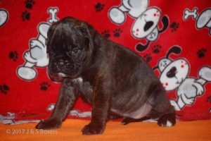 july boxer puppy31