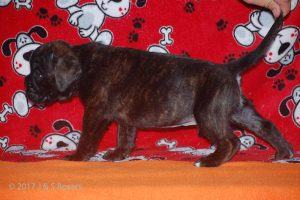 july boxer puppy32