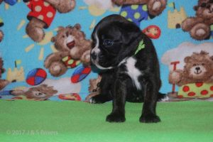 july boxer puppy33