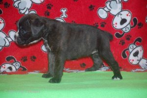 july boxer puppy34