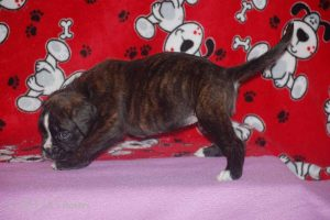 july boxer puppy35