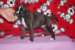 july boxer puppy36