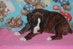 new boxerpuppy01