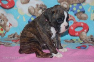 new boxerpuppy02