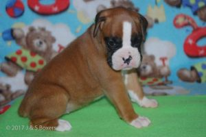 new boxerpuppy04