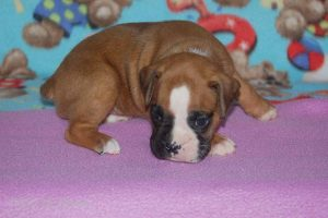 new boxerpuppy05