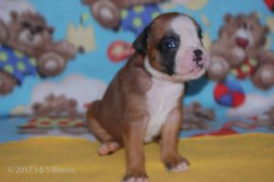 new boxerpuppy07